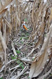 Pumpkin Patch Alpine Grand Rapids Mi by 37 Best Corn Mazes Images On Pinterest Corn Maze Scarecrows And