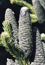 Christmas Tree Species Canada by Balsam Fir A Top 100 Common Tree In North America