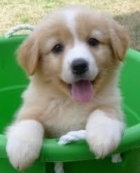 Shetland Sheepdog Sheltie Dog I want her Sooooo cute