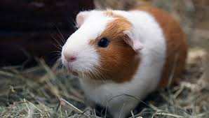 Pine Bedding For Guinea Pigs by Guinea Pig U2014fun Facts About Guinea Pig Food Cages And More