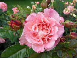 Nature Flower Rose Pink Finnish 860343