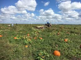 Largest Pumpkin Ever Grown 2015 by Pumpkin Patches Abound In San Antonio And Around