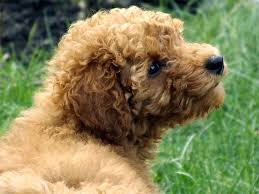 Small Dogs That Dont Shed Uk by Poodle Dog Breed Information Pictures Characteristics U0026 Facts