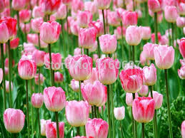 shop free shipping pink 5blubs flower bulbs tulip bulbs