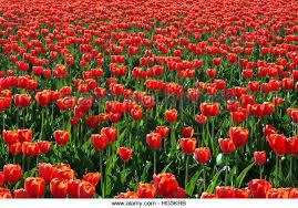 washington mount vernon tulip field stock photos washington