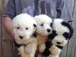 No Shed Small Dogs by 15 Non Shedding Small Dogs Uk Old English Sheepdog Pups