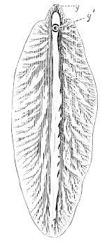 PSM V23 D761 The Liver Fluke Fasciola Hepatica