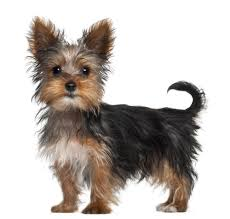 Top 10 Dogs That Dont Shed by Small Dog Breeds That Don U0027t Shed Best Large Breed Puppy Food Guide