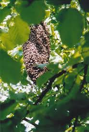 Die Besten 25+ Top Bar Hive Ideen Auf Pinterest | Bienenhaltung ... Bkeeping For Beginners Pt1 Video On How To Build A Top Bar Hive Feeder Set Up Behind Follower Board In Bkeeper Top Bar Hive Melissas Honey Bees Epic Beehive Swarm Trap Youtube How Transfer Brood Comb From Langstroth Frames New 200 Hives The Lowcost Sustainable Way A Bee Keeping Make Favorite Sewisabel Backyardhive And Bkeeeping Supplies Sale To Install Package Beverly Getting Started Your First Year As Beehive By Eco Box Eco Bee Box Modern