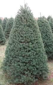What Is The Best Christmas Tree Variety by Noble Fir Also Called Red Fir Is A Popular Christmas Tree