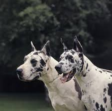 Non Shedding Dog Breeds Big by Largest Dog Breeds With Pictures That Will Leave You Dumbstruck