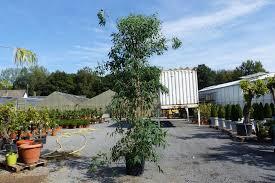 eucalyptus rostrata busch eukalyptusbaum kaufland de