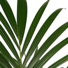 zimmerpflanze kentia palme in anthrazitfarbenem übertopf als set höhe 100 cm