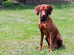 When Do Vizslas Shed Their Puppy Coat by The Happy Woofer Vizsla Delaware Dog Breeder Puppies For Sale