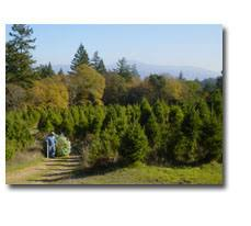 Santa Cruz Ca Christmas Tree Farms by Black Road Christmas Tree Farms