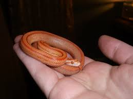 Corn Snake Shedding Signs by Some Corn Snake Myths Album On Imgur