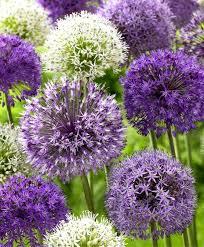 the big globe allium mixture flower bulb index