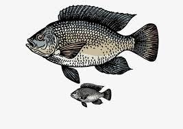 Tilapia Fish Nanyang Carp PNG Image And Clipart