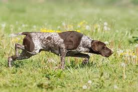 german shorthaired pointer shed german shorthaired pointer dogs and puppies breeds journal