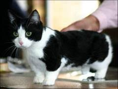 munchkins cats demystifying the munchkin cat pets and docile