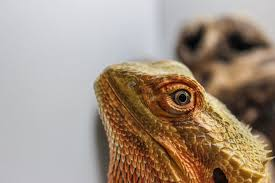 clogged nostrils bearded dragon org