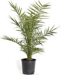 prix des palmiers exterieur palmiers balcon et terrasse plantes balcon et terrasse et balcon