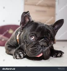 French Bulldog Sleeping Bed Stock Shutterstock