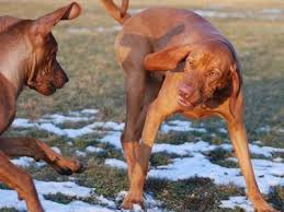 Vizsla Dog Breed Shedding by Best Dog Breed To Bring To Work U2013 The Mercury News