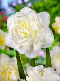 order daffodil white explosion bulbs for fall delivery we ship