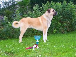 List Of Non Shedding Big Dogs by Kangal Dog Wikipedia