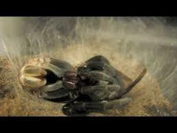 Do Tarantulas Molt Upside Down by Tarantula Molting Must Watch Youtube