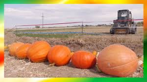 Fertilizer For Giant Pumpkins by Tips And Tricks On Planting And Growing Giant Pumpkins Youtube