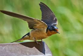 Feather Tailed Stories: Barn Swallow Natures Engineers Bird Nests The Transient Biologist Travels With Birds Our Second Barn Swallow Hirondelle Rustique Nesting Structure Ask An Expert American Robin Nest Box Plans Those Guys Have Got To A Swallows And Social Cues Beco Swallow Flying Nest At Nosegawa Middle School In Swallows Being Procted King Weekly Sentinel How To Prevent From Building On Your Porch Youtube Earth Rangers Wild Wire Blog