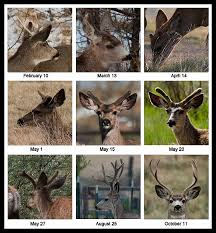 Deer Antler Shedding Cycle by Antler Growth Photo Olympus Dslr Challenge Photos At Pbase Com