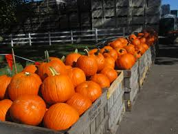 Kent Farms Pumpkin Patch by Delmarva Pumpkin Patches Corn Mazes Hayrides And More Shorebread