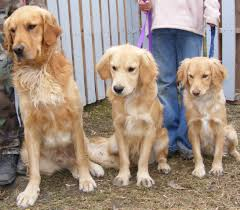 Big Dogs That Dont Shed Badly by Miniature Golden Retriever A K A Comfort Retriever U2013 Breed Info