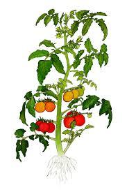 Coffee Plant Clipart Tomato 2