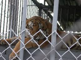 Tigers In America - Roadside Zoos