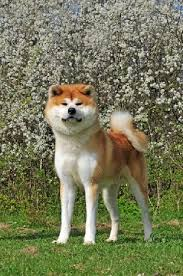 Do Akitas Shed Bad by 159 Best Akita Infatuation Images On Pinterest Akita Dog