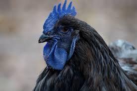 Blue bed Chicken Mystery My Pet Chicken Blog