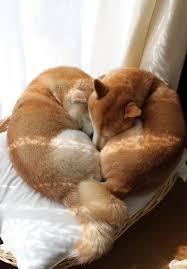 bred si e social due shiba inu che si coccolano a vicenda uno spettacolare