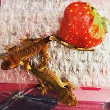 Crested Gecko Shedding Help by Baby Crested Geckos For Sale In Cheshunt Hertfordshire Gumtree