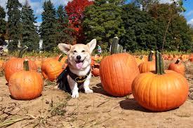 Pumpkin Picking Nj by Dogs With Busy Social Lives Dress Up For More Than Halloween Wtop
