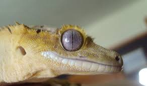 Crested Gecko Shed Stuck On Eye by Swollen Mouth Archive The Pangea Forums Crested Geckos U0026 More