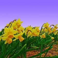 daffodil bulbs for sale easy to grow bulbs