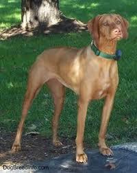 Vizsla Dog Breed Shedding by Kurzhaariger Ungarischer Vorstehhund Magyar Vizsla Vizsla