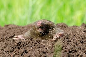 How To Rid Your Yard Of Moles Or Voles Or Both | WTOP How To Get Rid Of Moles Organic Gardening Blog Cat Captures Mole In My Neighbors Backyard Youtube Animal Wikipedia Identify And In The Garden Or Yard Daily Home Renovation Tips Vs The Part 1 Damaging Our Lawn When Are Most Active Dec 2017 Uerstanding Their Behavior Mole Gassing Pests Get Correct Remedy Liftyles Sonic Molechaser Alinum Covers 11250 Sq Ft Model 7900