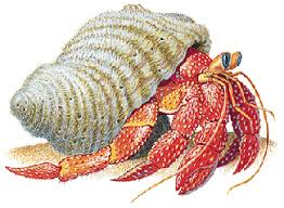 Do Hermit Crabs Shed Legs by Slide 1