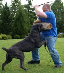 Cane Corso Italiano Shedding by Iron Mountain K9 U0027s Soldier A Cane Corso Standing Toe To Toe With