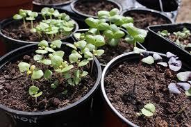apprendre à semer du basilic au potager ou en pot